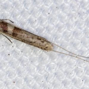 Ceromitia iolampra at Melba, ACT - 1 May 2021