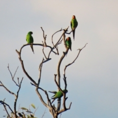 Lathamus discolor (Swift Parrot) at Callum Brae - 1 May 2021 by RodDeb