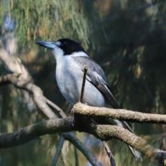 Cracticus torquatus (Grey Butcherbird) at Cook, ACT - 1 May 2021 by Tammy