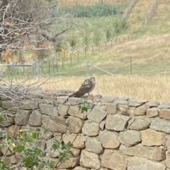 Accipiter sp. (genus) (Brown Goshawk/Collared Sparrowhawk) at Tinderry Nature Reserve - 2 May 2021 by Curll