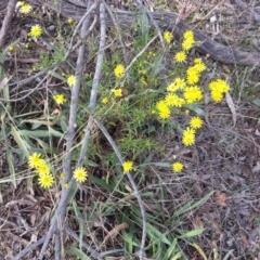 Senecio madagascariensis (Fireweed) at Campbell, ACT - 2 May 2021 by SilkeSma