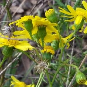 Senecio madagascariensis at Mount Ainslie - 2 May 2021