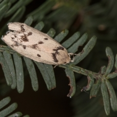 Compsotropha selenias (A Concealer moth) at Flea Bog Flat, Bruce - 29 Dec 2020 by Bron