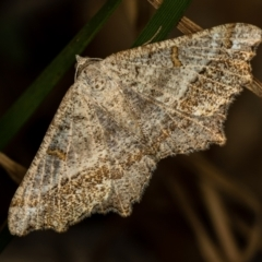 Dissomorphia australiaria (Dashed Geometrid) at Flea Bog Flat, Bruce - 29 Dec 2020 by Bron