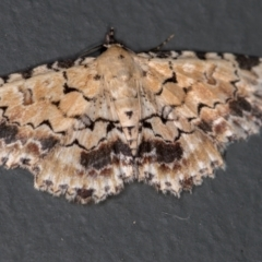 Sandava scitisignata (A noctuid moth) at Melba, ACT - 29 Dec 2020 by Bron