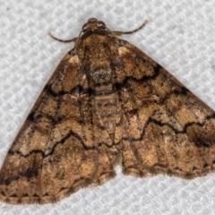 Cryphaea xylina (Woodland Geometrid) at Melba, ACT - 29 Dec 2020 by Bron