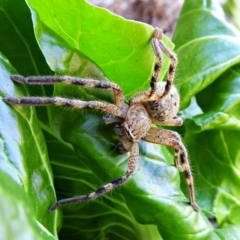 Neosparassus calligaster (Beautiful Badge Huntsman) at Crooked Corner, NSW - 1 May 2021 by Milly