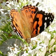 Vanessa kershawi (Australian Painted Lady) at Crooked Corner, NSW - 1 May 2021 by Milly