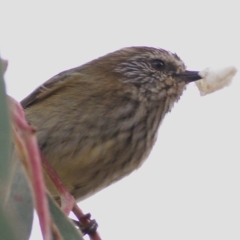 Acanthiza lineata (Striated Thornbill) at Wodonga - 2 May 2021 by Kyliegw
