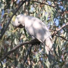 Cacatua galerita (Sulphur-Crested Cockatoo) at Wonga Wetlands - 28 Apr 2021 by PaulF