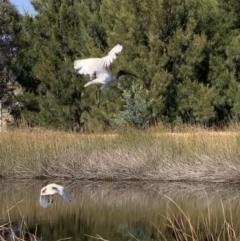 Threskiornis molucca (Australian White Ibis) at Murrumbateman, NSW - 1 May 2021 by SimoneC