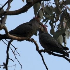 Callocephalon fimbriatum (Gang-Gang Cockatoo) at Albury - 2 May 2021 by PaulF