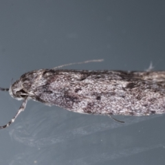 Unidentified Concealer moth (Oecophoridae) (TBC) at Melba, ACT - 25 Apr 2021 by kasiaaus