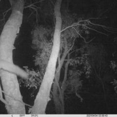 Petaurus norfolcensis (Squirrel Glider) at Albury - 3 Apr 2021 by ChrisAllen