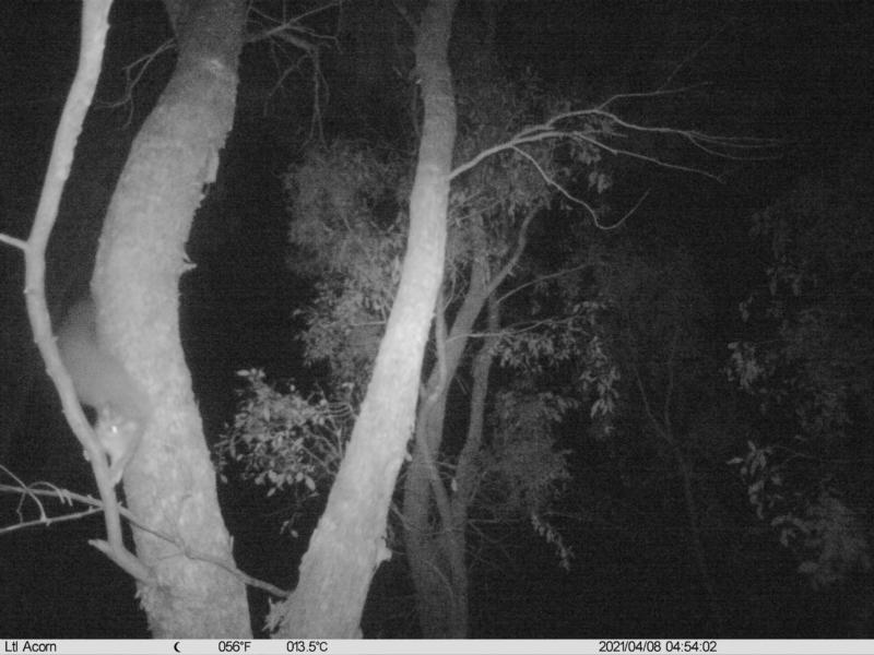 Petaurus norfolcensis at Albury - 8 Apr 2021