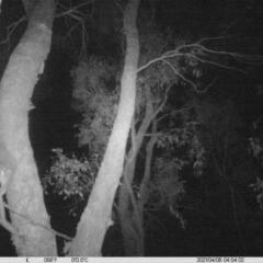 Petaurus norfolcensis (Squirrel Glider) at Albury - 7 Apr 2021 by ChrisAllen
