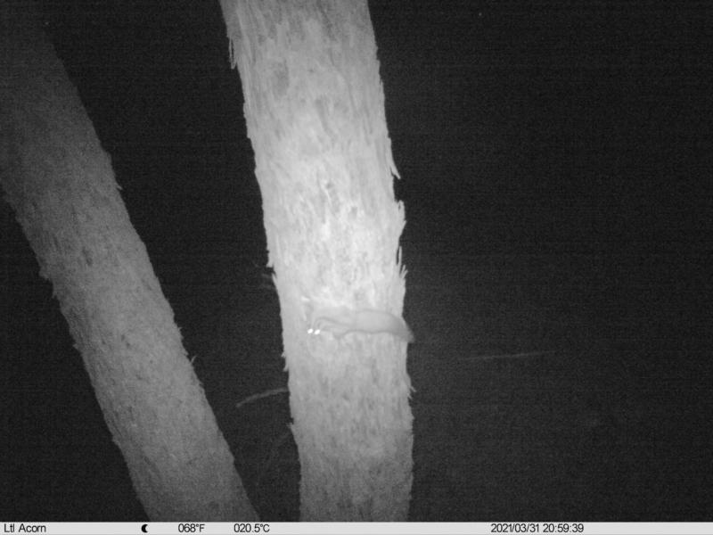 Petaurus norfolcensis at Budginigi - 31 Mar 2021