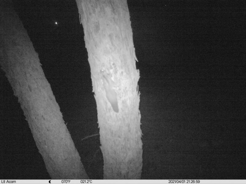 Petaurus norfolcensis at Budginigi - 1 Apr 2021
