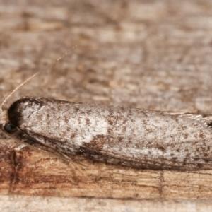 Lepidoscia euryptera at Melba, ACT - 25 Apr 2021
