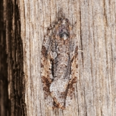 Thrincophora inconcisana (A Tortricid moth) at Melba, ACT - 26 Apr 2021 by kasiaaus