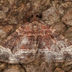 Chrysolarentia euphileta (Well-loved Carpet) at Melba, ACT - 26 Apr 2021 by kasiaaus