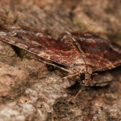 Chrysolarentia euphileta at Melba, ACT - 26 Apr 2021