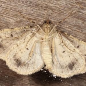 Syneora hemeropa at Melba, ACT - 26 Apr 2021