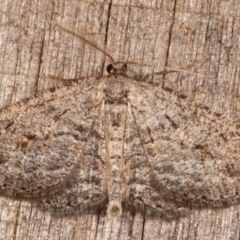 Zermizinga sinuata (Lucerne Looper, Spider Moth) at Melba, ACT - 26 Apr 2021 by kasiaaus