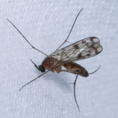 Unidentified True fly (Diptera) (TBC) at Melba, ACT - 26 Apr 2021 by kasiaaus