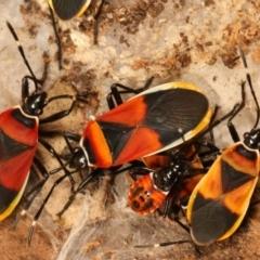Dindymus versicolor (Harlequin bug) at Lake Ginninderra - 27 Apr 2021 by kasiaaus