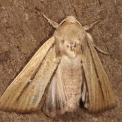 Leucania diatrecta (A Noctuid moth) at Melba, ACT - 27 Apr 2021 by kasiaaus