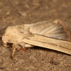 Leucania diatrecta at Melba, ACT - 27 Apr 2021
