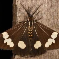 Nyctemera amicus (Senecio or Magpie moth) at Melba, ACT - 27 Apr 2021 by kasiaaus