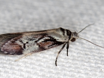 Oenochroa dinosema (A Concealer moth) at Melba, ACT - 26 Dec 2020 by Bron