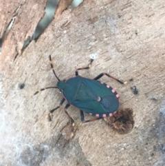 Notius depressus at Phillip, ACT - 18 Apr 2021