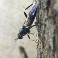 Exaireta spinigera (Garden Soldier Fly) at - 26 Apr 2021 by Margot