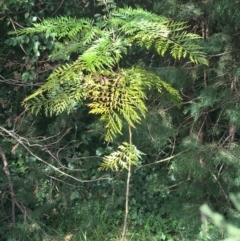 Grevillea robusta (Silky Oak) at Yarralumla, ACT - 2 May 2021 by Ned_Johnston