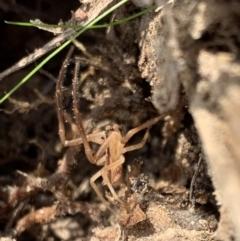 Sidymella trapezia at Murrumbateman, NSW - 2 May 2021