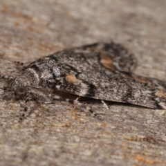 Smyriodes undescribed species nr aplectaria at Melba, ACT - 29 Apr 2021