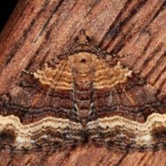 Chrysolarentia euphileta (Well-loved Carpet) at Melba, ACT - 29 Apr 2021 by kasiaaus
