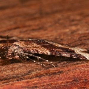 Chrysolarentia euphileta at Melba, ACT - 29 Apr 2021