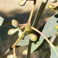 Eucalyptus rubida subsp. rubida (Candlebark) at Mount Painter - 3 May 2021 by drakes