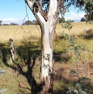 Eucalyptus rubida subsp. rubida at Mount Painter - 3 May 2021