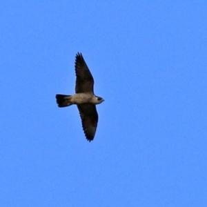 Falco peregrinus at National Zoo and Aquarium - 3 May 2021