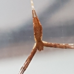 Unidentified Other web-building spider (TBC) at Lyneham, ACT - 3 May 2021 by tpreston