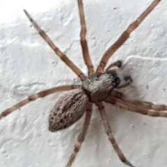Unidentified Other hunting spider (TBC) at Lyneham, ACT - 3 May 2021 by tpreston