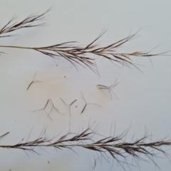 Aristida ramosa (Purple Wire Grass) at Wambrook, NSW - 26 Apr 2021 by Mike