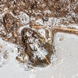 Limnodynastes tasmaniensis at Black Mountain - 4 May 2021