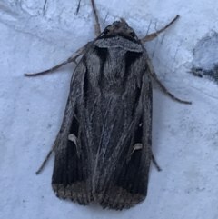 Proteuxoa undescribed nr paragypsa (A Noctuid moth) at Phillip, ACT - 21 Apr 2021 by Tapirlord