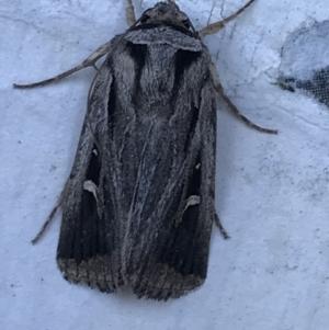 Proteuxoa undescribed species near paragypsa at Phillip, ACT - 21 Apr 2021